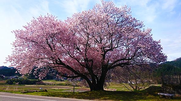 輪島市石休場町の桜