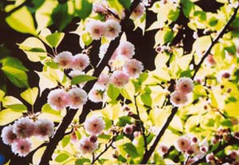 来迎寺の菊桜